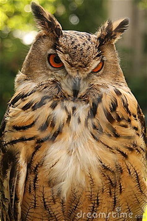 brown owl stock photography image