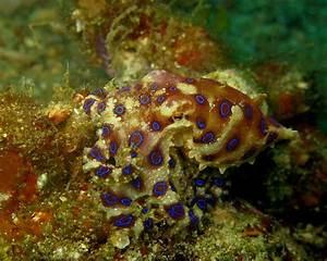 Blue-Ringed Octopus Facts, Habitat, Life Cycle, Venom ...