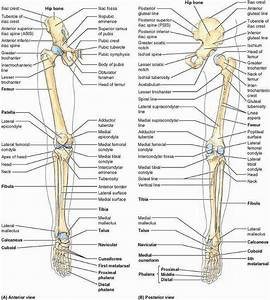 Pictures Of Bones Of The Lower Extremities
