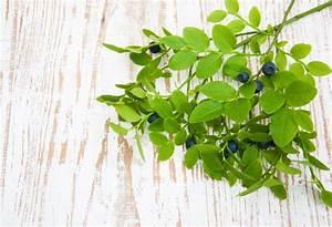 Magnolien Vermehren Durch Stecklinge : kulturheidelbeeren vermehren so ziehen sie stecklinge ~ Lizthompson.info Haus und Dekorationen