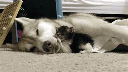 Husky Kitten Kittens Gay Interracial Couple Cat