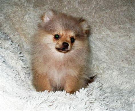 pomeranian zwergspitz welpen ruede  hamm hunde kaufen