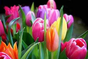 Bilder Blumen Kostenlos Downloaden : tulpen strau kostenlose bilder download titania foto ~ Frokenaadalensverden.com Haus und Dekorationen