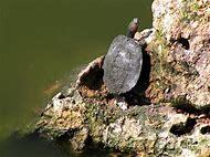 Turtle Climbing Rocks