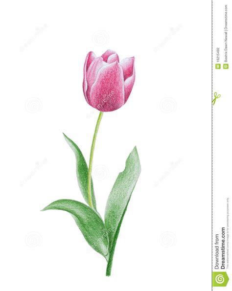tulipano fiore fiore tulipano illustrazione di stock illustrazione