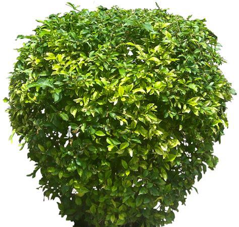 shrub image tropical plant pictures duranta erecta golden dewdrop