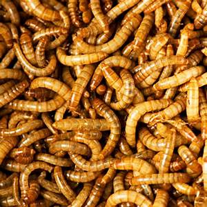 Uncle Jim's Live Mealworms- FREE SHIPPING - 1000 Count ...