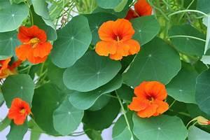 Schnell Rankende Pflanzen : rankpflanzen f r den balkon 10 schnell rankende balkonpflanzen ~ Frokenaadalensverden.com Haus und Dekorationen