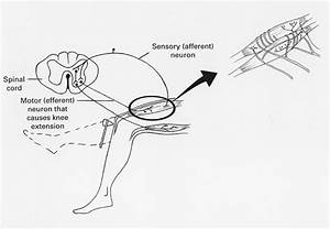 Patellar Reflex Arc Diagram
