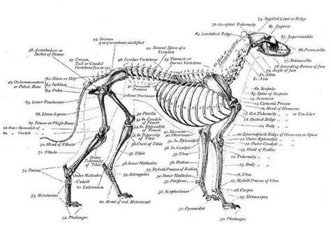 Skeletal Structure Of A Dog