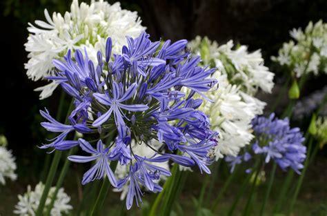 afrikanische lilie überwintern schmucklilie pflegen 187 so f 252 hlt sich die agapanthus pudelwohl