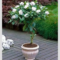 The Longest Lasting Gardenia Variety Now On A Tree