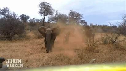 Animal Elephant Gifs Attack Win Encounters Terrifying