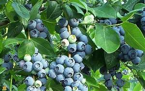 Cold Hardy Tifblue Blueberry Bushes for Sale | The ...