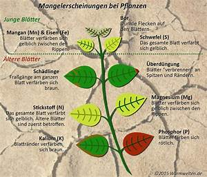 Stickstoffmangel Bei Pflanzen : mangelerscheinungen bei pflanzen erkennen ~ Lizthompson.info Haus und Dekorationen
