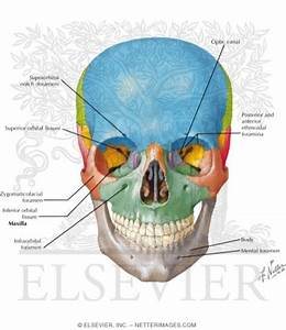 Skull: Anterior View