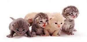 Tante foto di gatti di razza Focus it