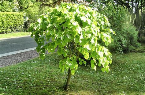 arbre à croissance rapide arbre qui pousse vite notre top 10 des arbres 224 croissance rapide