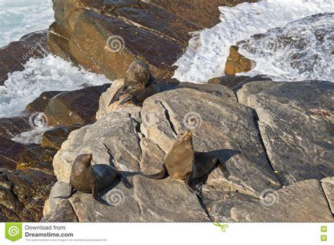 Seals At Kangaroo Island Australia Royalty Free Stock