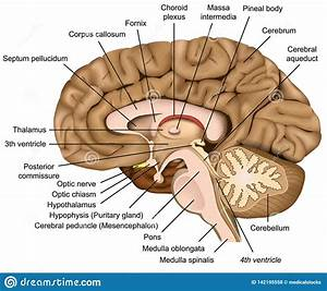Human Brain Anatomy 3d Illustration On White Background Stock Illustration