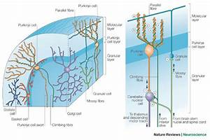 The Anatomical Structure And Connections Of The Cerebellar
