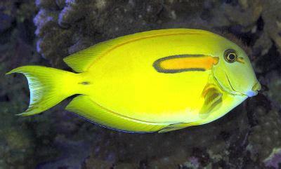 orangespot surgeonfish orange shoulder tang acanthurus
