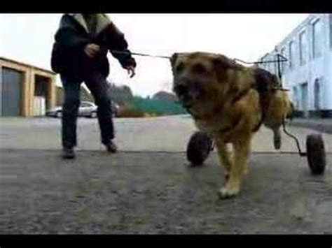 chaise roulante pour chien paralys 233