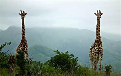 Giraffe Animal Computer Wallpapers Desktop Backgrounds