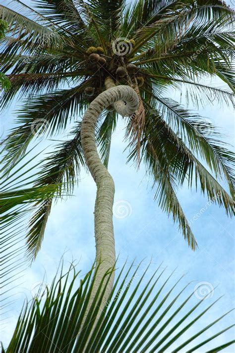 curved palm tree clipart clipart suggest