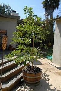 Avocado Baum Pflege : die besten 25 avocado z chten ideen auf pinterest avocado baum avocadobaum kaufen und ~ Orissabook.com Haus und Dekorationen