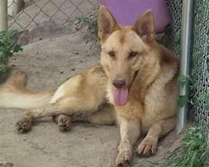Tan German Shepherd | Liver & Tan German Shepherd, Legacy ...