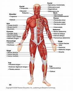 Claye Willcox Athlete Dev   Muscular  Skeletal Systems   Joints