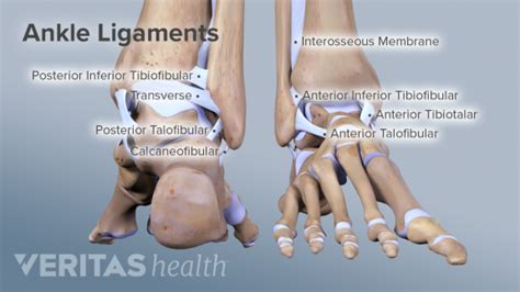 ankle anatomy muscles  ligaments