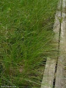 Carex oligosperma (Few-seeded Sedge): Minnesota Wildflowers