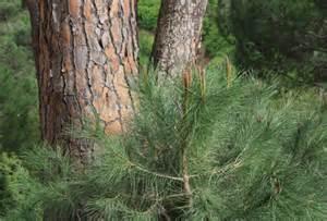 Different Types of Pine Tree Bark