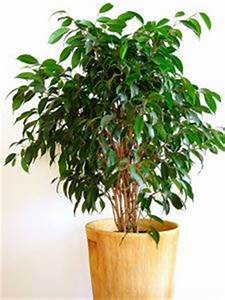 Plante Verte D Appartement : fiche pratique sur l 39 entretien du ficus benjamina plante ~ Premium-room.com Idées de Décoration