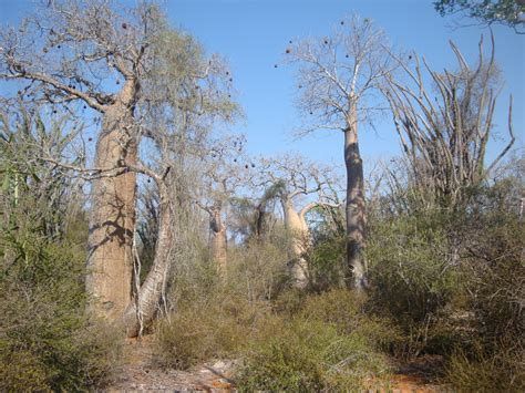 File:Spiny forest 1, Ifaty, Madagascar.jpg - Wikimedia Commons