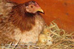 Baby Chick Hatching