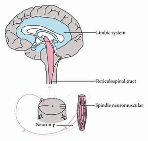 Wiring Diagram Of The Limbic System  Gamma Loop  And