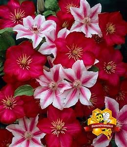 Kletterpflanzen Mehrjährig Winterhart : clematis 39 nelly moser 39 39 ville de kletterpflanzen bei ~ Michelbontemps.com Haus und Dekorationen