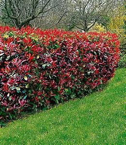 Sichtschutz Immergrün Winterhart : photinia hecke red robin 1a heckenpflanzen baldur garten ~ Michelbontemps.com Haus und Dekorationen