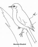 Bluebird Coloring Pages Eastern Bird Printable Drawings Print Designlooter Animals 75kb 744px sketch template