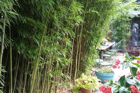 bamboo garden nj nj bamboo landscaping bamboo plants and privacy hedges