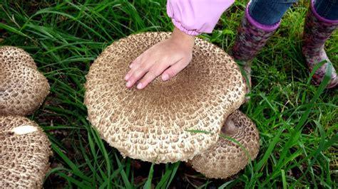 Parasol Pilze Im Garten parasol paniert rezepte suchen