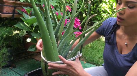Como Cuidar Planta De Aloe Vera Doovi