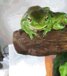 green tree frog amphibian gif wifflegif