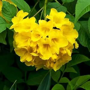 Buy Tecoma Stans Yellow Trumpetbush 05 Kg Seeds Online
