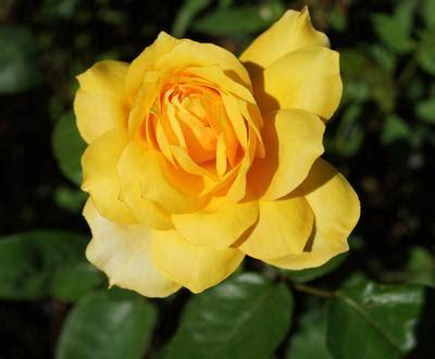 gold glow rosa hybrid tea gold glow regan nursery