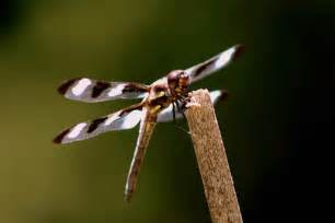 Dragonfly L by File Twelve Spotted Skimmer Dragonfly Insect On A Branch