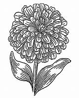 Zinnia Coloring Printable 1800px Flower Designlooter 1134 52kb 1440 sketch template
